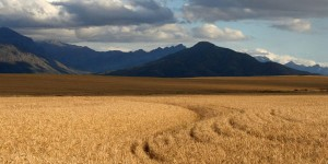 South African Wheat fields