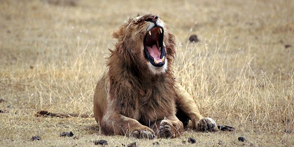 Roaring lion, South Africa