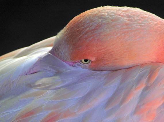 flamingo, UK