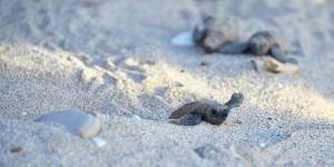 Turtles at GoldenEye