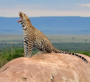 i-escape: Leopard