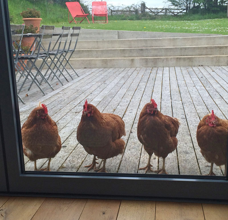 i-escape blog / Chickens at Bude Hideaways