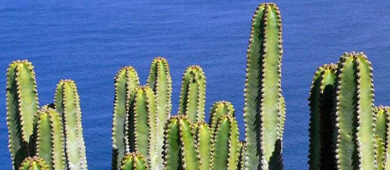 canaryislandslapalmacactus