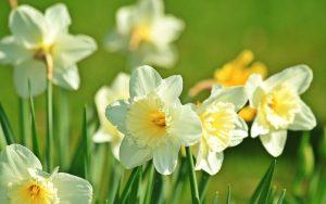 the i-escape blog / 5 of our favourite springtime getaways / mells daffodils
