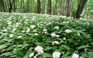 the i-escape blog / 5 of our favourite springtime getaways / wild garlic