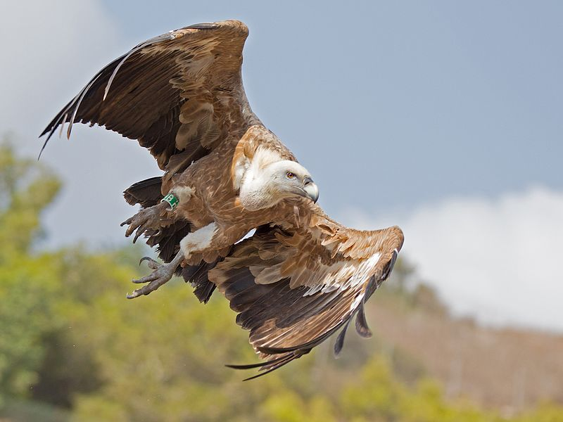 the i-escape blog / European holidays with amazing wildlife / Griffon vulture
