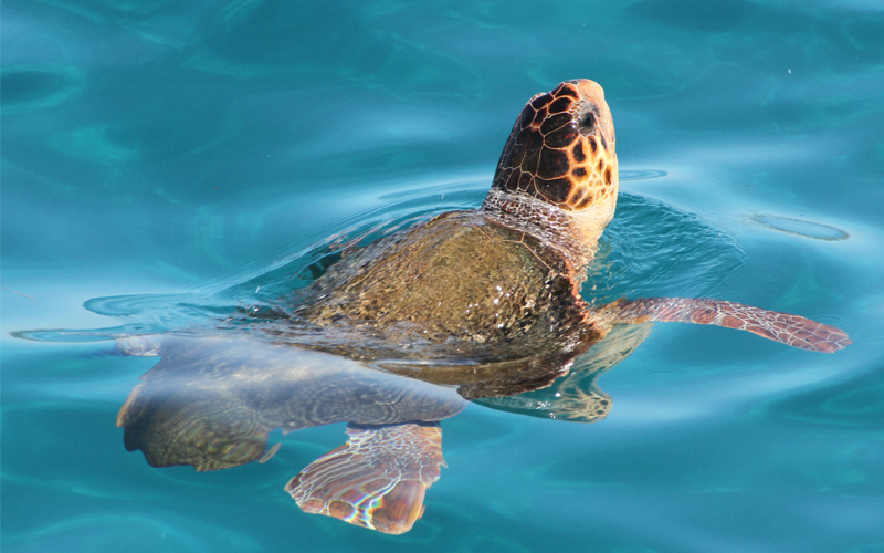 the i-escape blog / European holidays with amazing wildlife / Loggerhead turtle by Tony Hisgett