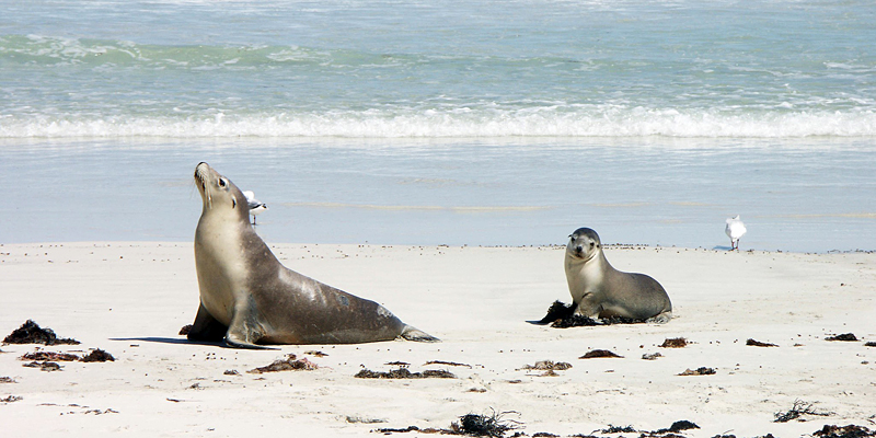 The i-escape blog / 6 lodges with wildlife on your doorstep / Sea lions on Kangaroo Island ©Didier B