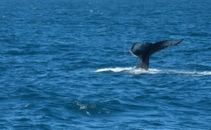 the i-escape blog / European holidays with amazing wildlife / Humpback whale in Iceland