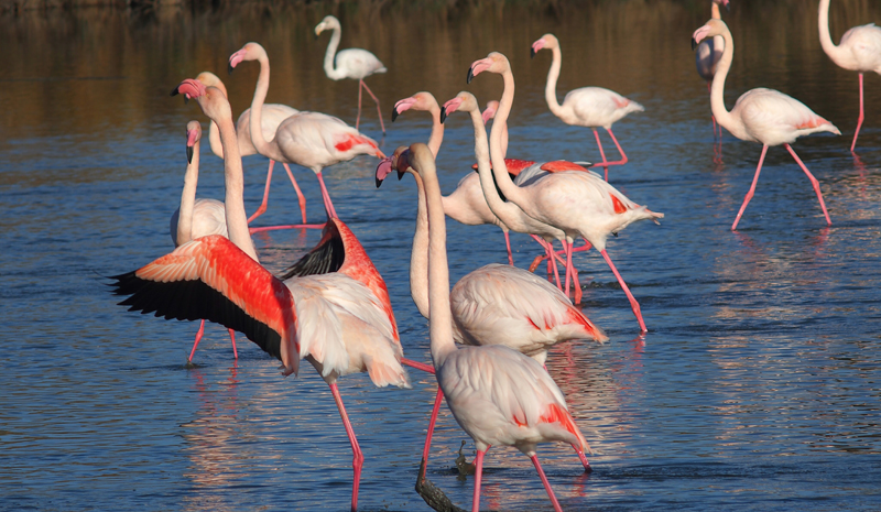 the i-escape blog / European holidays with amazing wildlife / Flamingos in the Camargue