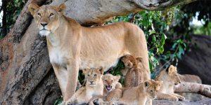 The i-escape blog / Planning an African Safari Honeymoon: 5 wildly romantic destinations / Lions