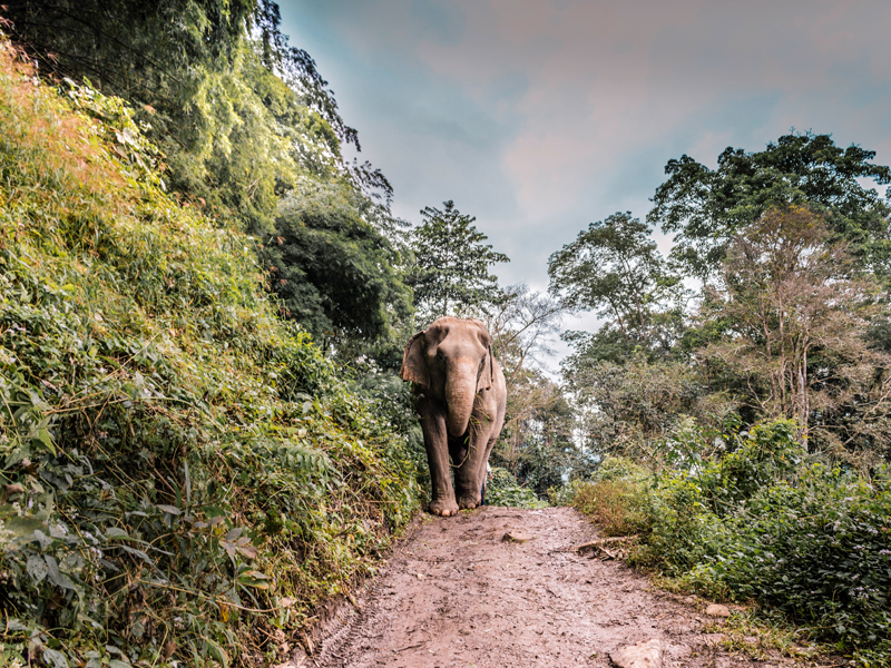 The i-escape blog / Thailand: a winter travel guide / Elephant in Chiang Mai, Thailand