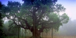 Langar Hall, United Kingdom, Major Oak in Sherwood Forest