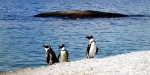 An African Villa, South Africa, Penguins at Boulder's Beach