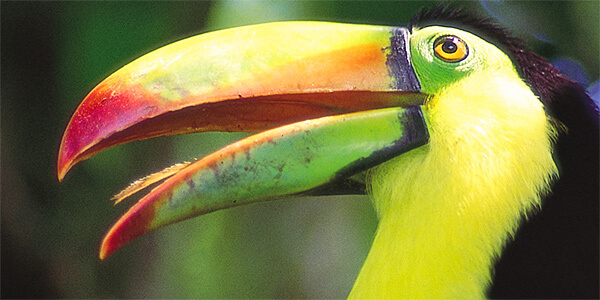 Activity: Keel-Billed-Toucan