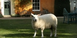 Langar Hall, United Kingdom, Louise the Sheep